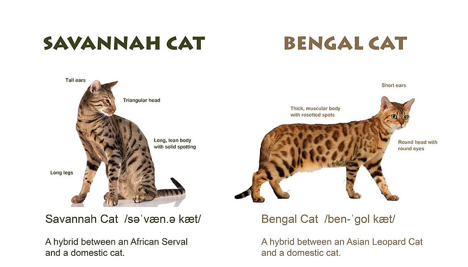 Differences In Markings Of Big Cats