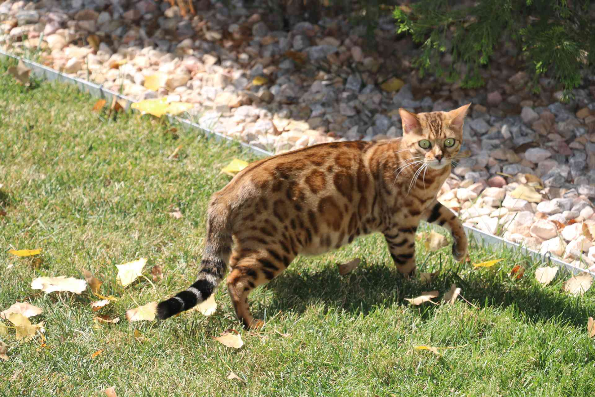 bengal, kittens, bengals for sale, kittens for sale ... Bengal Cat Denver Co
