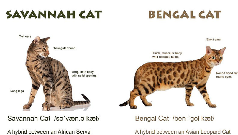 Cat Breed Called Savannah